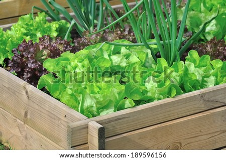 different varieties of salad in a vegetable patch - stock photo