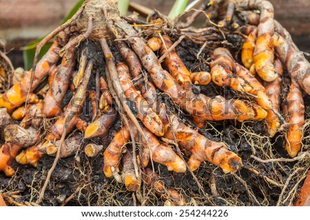 dig turmeric under the soil - stock photo