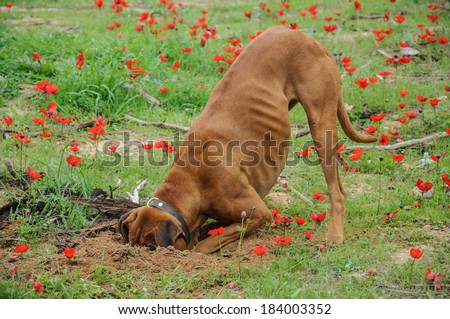 Digging dog,  thrust the head into a hole - stock photo