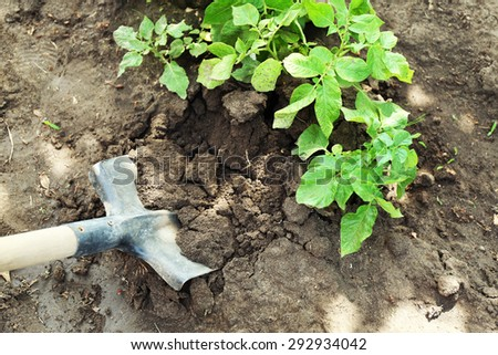 Digging potatoes over soil in garden - stock photo