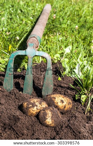 Digging potatoes with fork on the field from soil. Potatoes harvesting in autumn. Image of agriculture. - stock photo