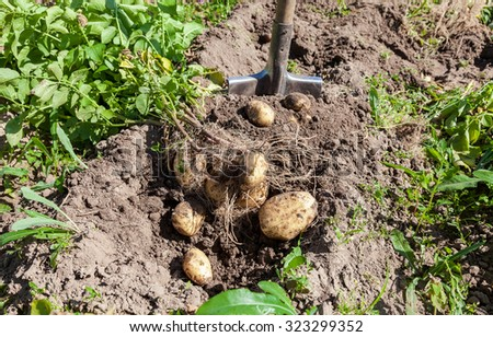 Digging potatoes with shovel on the field from soil. Potatoes harvesting in autumn - stock photo