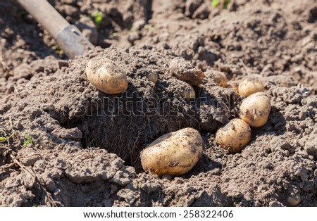 Digging up fresh home grown potatoes close up - stock photo