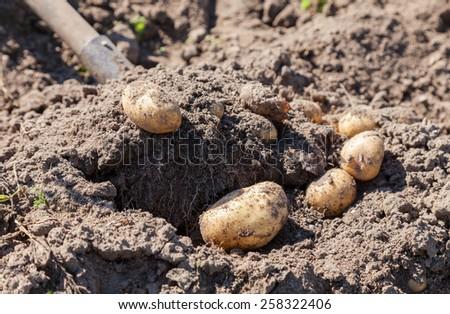 Digging up fresh home grown potatoes close up - stock photo