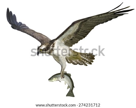Digital illustration of an Osprey catching a sea  trout - stock photo