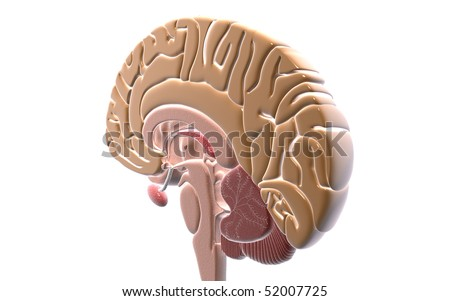 Digital illustration of  brain in isolated  background