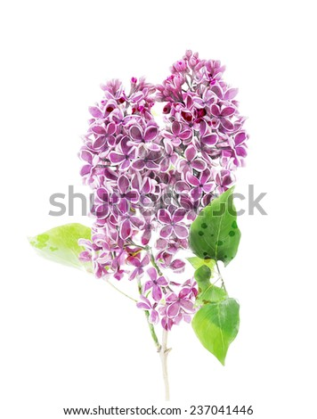 Digital Painting Of Blossoming Lilac On White Background - stock photo