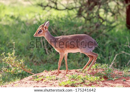 Dik- Dik - stock photo