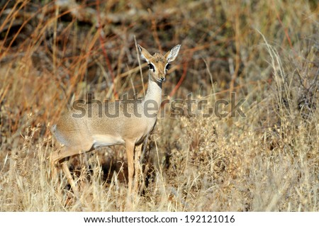Dik-dik, a small antelope, Samburu National Reserve, Kenya, East Africa - stock photo