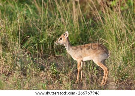 dik dik antelope in the bush of Africa - stock photo