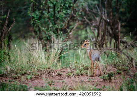 dik-dik antelope in the forest - stock photo