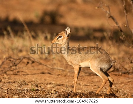 Dik-dik facing left - stock photo
