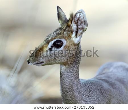 Dik Dik gazelle in the savannah of Africa - stock photo