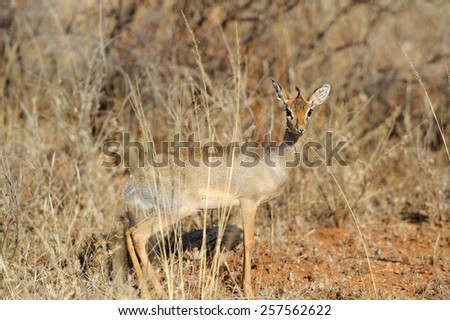 Dik-dik in the National Reserve of Africa, Kenya - stock photo