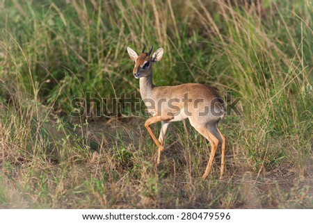 Dik Dik in the savanna of Kenya - stock photo