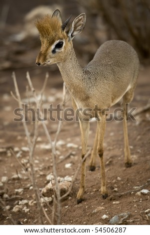 Dik dik standing, Tanzania, Africa - stock photo
