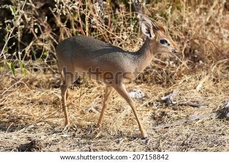 Dik-dik the worlds smallest antelope - stock photo