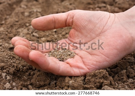 dill seeds in hand - stock photo