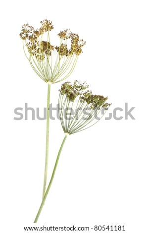dill umbrels with seeds isolated on white background - stock photo