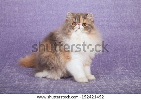 Dilute calico Persian cat sitting on lilac purple background - stock photo