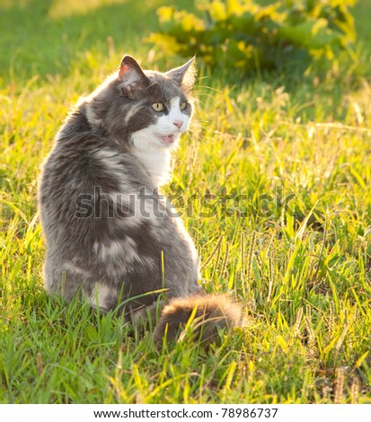 Diluted calico cat in grass lit by evening sun - stock photo