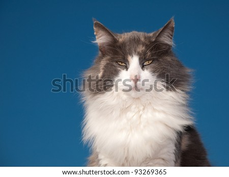 Diluted calico cat with an attitude against clear blue sky - stock photo