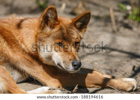dingo close up