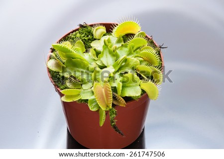 Dionaea muscipula , known as flytrap, in closeup, on plain background - stock photo