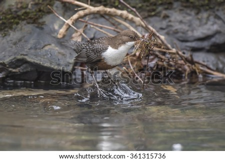 Dipper, on a rock with nesting material in its beak
