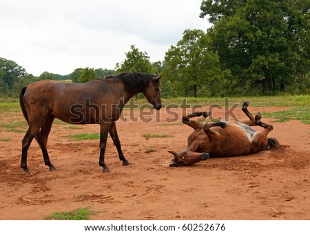 Dirt covered horse watching another enjoying a good roll in sand and getting equally dirty on a rainy day
