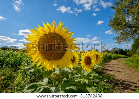 Dirt Path along a field of sunflowers on a perfect late summer day - stock photo