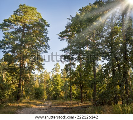 Dirt road among lush shrubs in majestic piny forest on sandy soil in the rays of setting sun - stock photo