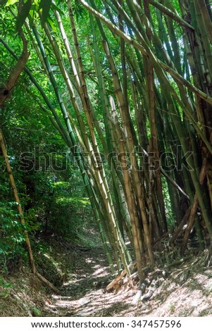 Dirt road passing through bamboo forest, Trinidad, Trinidad and Tobago - stock photo