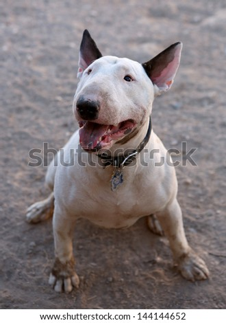 Dirty Bull Terrier posing for a picture - stock photo