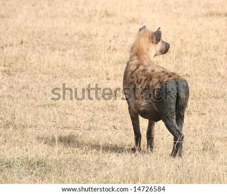 Dirty Hyena Behind - stock photo