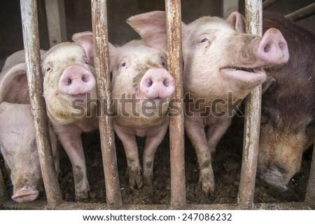 anal Dirtiest pig fat