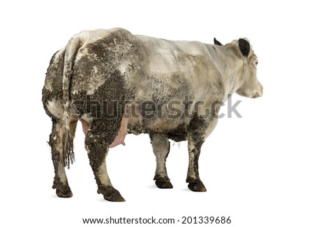 Dirty pregnant Belgian blue cow, isolated on white - stock photo