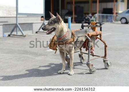Disabled dog in a wheelchair. - stock photo