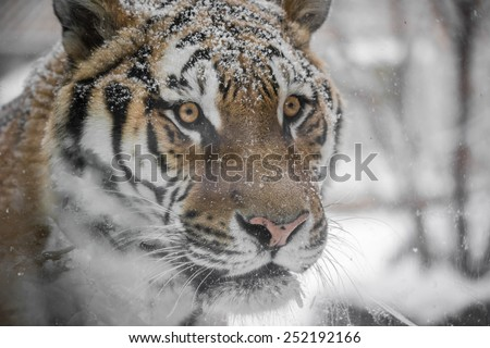Disappearing Amur Tiger Hunting in snowfall - stock photo