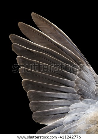 disclosed turtledove wing on a black background - stock photo