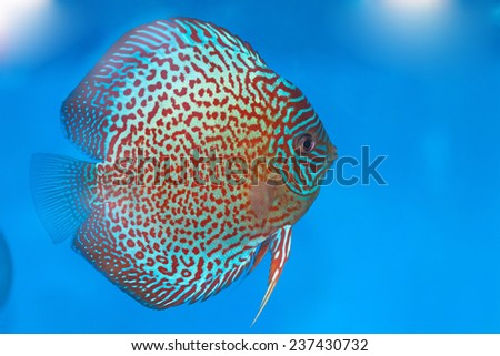 Discus fish in a fish tank - stock photo