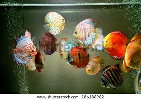 Discus Fish in Aquarium - stock photo