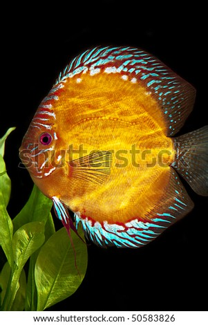 Discus fish - Symphysodon aequifasciatus - stock photo