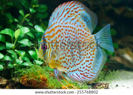 Discus fish stock images royalty free images vectors for Discus fish types