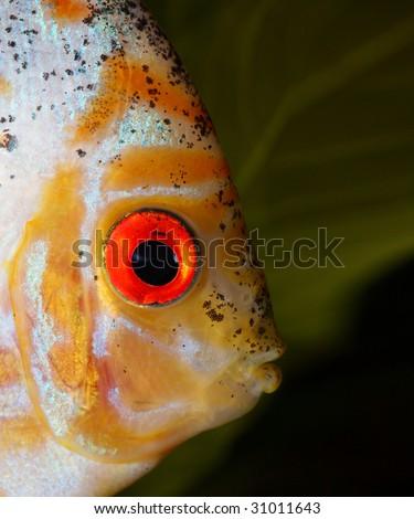 discus head close up shot in aquarium - stock photo