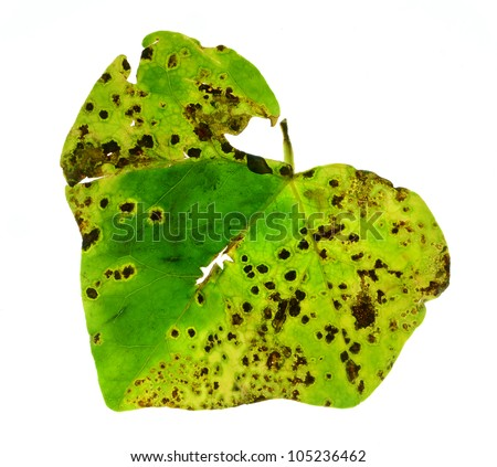 Diseased english ivy leaf - stock photo