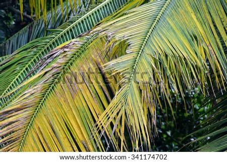 Disease tree Asian palm