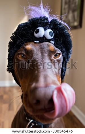 Disgruntled Doberman with Halloween hat licking lips  - stock photo