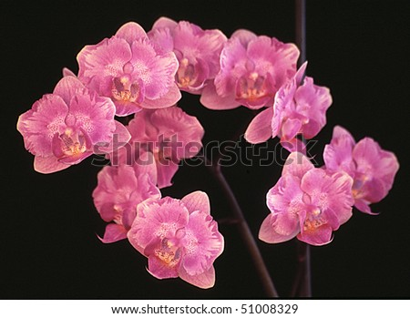 Display of Pink Orchids - stock photo