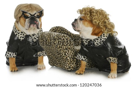 diva dogs - two female english bulldogs wearing blonde wigs dressed up in black leather coats - stock photo